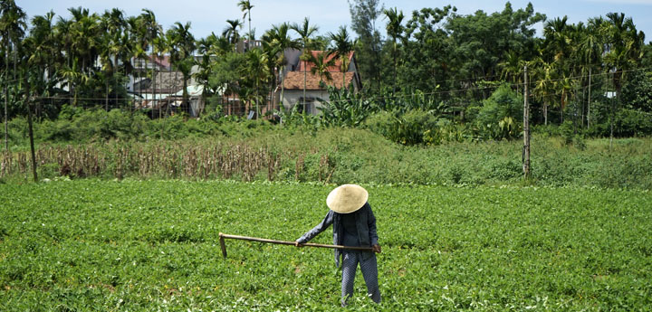 Vietnamese farmer wearing a traditional conical hat working the bright green rice field