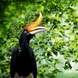 A black and flame colored Rhinoceros Hornbill perches on a tree branch in the lush green Borneo jungle.