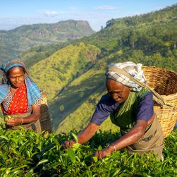 Two women pick tea mid-day at a plantation in Sri Lanka.