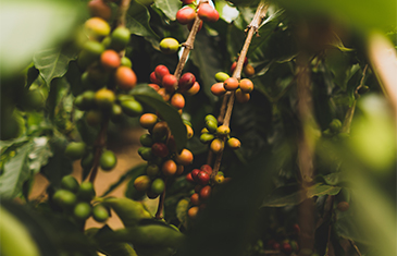A close up view of the Kampot Pepper plant in Cambodia