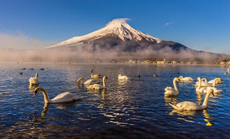 Swans bathe in front of Mount Fuji at Sunrise